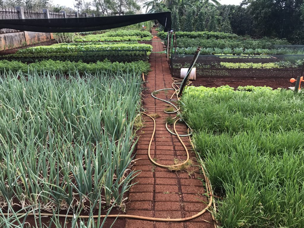Organic Vegetable Garden 2 The American Campus at Jin Fei University in Mauritius